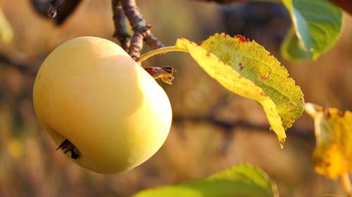 яблоко осенью