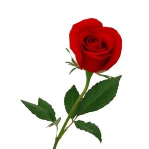 Роза для романтического вечера