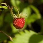 Удивительная ягода земляника: особенности посадки